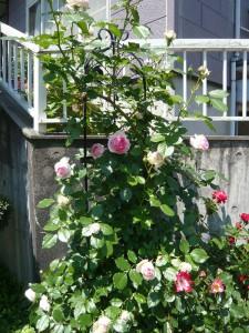 殿堂入りのバラ、ピエールドロンサール